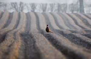 pheasant male recently ploughed field late winter